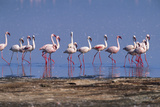 Lesser Flamingoes Walking along Lake Shore Photographic Print by Momatiuk - Eastcott