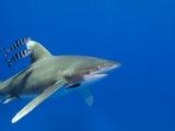 Oceanic Whitetip (Carcharhinus Longimanus) Photographic Print by Stephen Frink