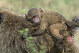 Baboon Baby on Mother's Back Photographic Print by Momatiuk - Eastcott