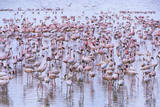 Flock of Lesser Flamingoes in Shallow Lake Photographic Print by Momatiuk - Eastcott
