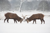 Two Red Deer Stags Locking Horns on a Cold Snowy Winters Morning in Richmond Park Photographic Print by Joanna Jackson