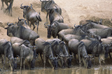 Wildebeest Drink from Mara River Photographic Print by Momatiuk - Eastcott