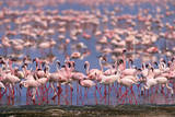 Flock of Lesser Flamingoes Feeding and Walking in Shallow Lake Photographic Print by Momatiuk - Eastcott