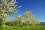 Cherry Plantation in Bloom Reproduction photographique par Frank Krahmer
