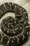 Python Anchietae (Angolan Python) Photographic Print by Paul Starosta