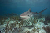 Tiger Shark in the Bahamas Stampa fotografica di Stephen Frink
