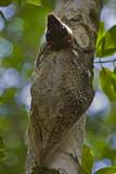 Colugo or Flying Lemur (Galeopterus Variegatus) on a Tree Photographic Print by Craig Lovell