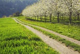 Cherry Plantation in Bloom and Field Path Photographic Print by Frank Krahmer