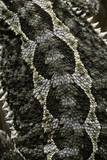 Pogona Vitticeps (Bearded Dragon) - Scales Photographic Print by Paul Starosta