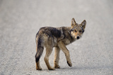 Young Wolf Pup Crossing Road Photographic Print by Momatiuk - Eastcott