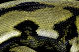 Python Reticulatus F.Tiger (Reticulated Python) - Scales Photographic Print by Paul Starosta