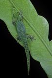 Phelsuma V-Nigra (Indian Day Gecko) Papier Photo par Paul Starosta