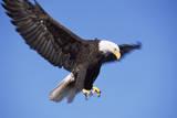 Bald Eagle in Flight, Alaska Photographic Print by Momatiuk - Eastcott
