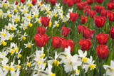 Oscar Tulips and Jack Snipe Narcissus Fotoprint av Mark Bolton