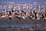 Lesser Flamingoes Scattering Photographic Print by Momatiuk - Eastcott