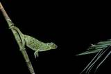 Chamaeleo Johnstoni (Johnston's Chameleon) - Capturing an Insect Photographic Print by Paul Starosta