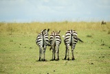 Kenya, Masai Mara National Reserve, Rear View of Zebras Looking at the Plain Photographic Print by Anthony Asael
