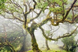 Laurel Forest Laurisilva in Fog Photographic Print by Frank Krahmer