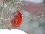 Cardinal rouge Reproduction photographique par Gary Carter
