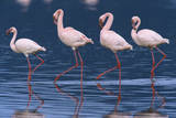 Lesser Flamingos Photographic Print by Momatiuk - Eastcott