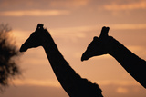 Masai Giraffes, Female and Male, against Morning Sky Photographic Print by Momatiuk - Eastcott