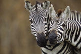 Burchell's Zebras Photographic Print by Momatiuk - Eastcott