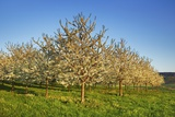 Cherry Plantation in Bloom Photographic Print by Frank Krahmer