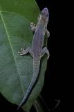 Phelsuma Ornata Ornata (Ornate Day Gecko) Papier Photo par Paul Starosta