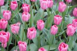 Nico Vos Tulips Fotografiskt tryck av Mark Bolton