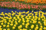 Rows of Tulips in Keukenhof Gardens Reproduction photographique par Mark Bolton