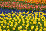 Rows of Tulips in Keukenhof Gardens Photographic Print by Mark Bolton