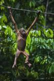 A Sick Baby Orangutan (Pongo Pygmaeus) at the Sepilok Orangutan Rehabilitation Center Photographic Print by Craig Lovell