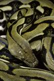 Python Reticulatus F.Tiger (Reticulated Python) Photographic Print by Paul Starosta