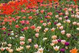 Tulips in Keukenhof Gardens Reproduction photographique par Mark Bolton