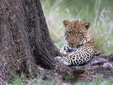 Leopard Resting under Tree after Sunset Photographic Print by Momatiuk - Eastcott