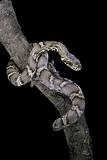 Elaphe Schrencki Schrencki (Amur Rat Snake) Photographic Print by Paul Starosta