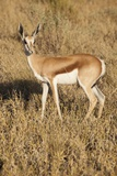 Young Springbok Photographic Print by Michele Westmorland