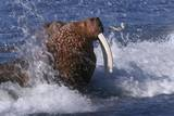 Pacific Walrus in Surf Photographic Print by W. Perry Conway