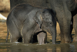 Baby Elephant with Young Calf Photographic Print by Theo Allofs