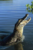 Caiman Emerging from River Photographic Print by Theo Allofs