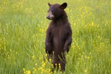 Black Bear Surveying Area Photographic Print by W. Perry Conway