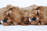 Cavalier King Charles Spaniel Puppies Lying Down Photographic Print by Martin Harvey