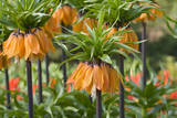 Orange Bloms Orange Perfection Fritillaria Imperialis Reproduction photographique par Mark Bolton