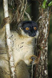 Common Brown Lemur Photographic Print by Martin Harvey