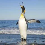King Penguin Coming out of Sea Photographic Print by Momatiuk - Eastcott