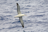Wandering Albatross Flying above Sea Reproduction photographique par Momatiuk - Eastcott