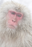 Japanese Macaque Photographic Print by Frank Lukasseck