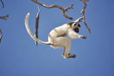 Verreaux's Sifaka Leaping from Tree Photographic Print by Martin Harvey