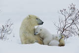 Polar Bear Mother with Her Cubs Photographic Print by Theo Allofs