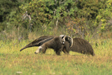 Anteaters Carrying their Young Photographic Print by Theo Allofs